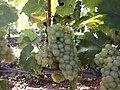 Raisins à Givry 3.jpg