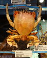 Ranina ranina - National Museum of Nature and Science, Tokyo - DSC06878.JPG