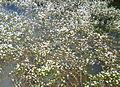 Ranunculus aquatilis - Moinhos da Rocha Tavira Portugal 01.JPG
