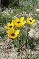 Ranunculus asiaticus kz14.jpg
