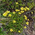 Ranunculus enysii, Helicopter Hill, Canterbury, New Zealand 06.jpg