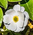 Ranunculus lyallii in Arthur's Pass NP 05.jpg