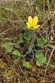 Ranunculus multiscapus kz04.jpg