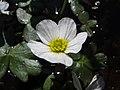 Ranunculus peltatus (Hierba lagunera) (8756061470).jpg