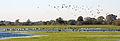 Rastvögel auf überfluteten Wümmewiesen.jpg