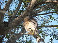 Red-Shouldered Hawk at Everglades National Park with Feathers Fluffed.jpg