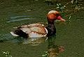 Red-crested Pochard Netta rufina by Dr. Raju Kasambe DSCN1127 (13).jpg