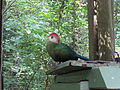 Red-crested turaco, Wild Adventures 2015.jpg