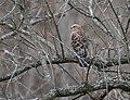 Red-shouldered Hawk (works) (32276769680).jpg