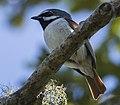 Red-tailed vanga (Calicalicus madagascariensis) (cropped).jpg