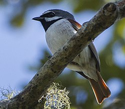 Red-tailed vanga (Calicalicus madagascariensis) (cropped).jpg