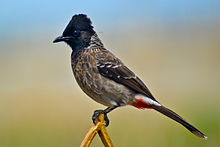 Red-vented Bulbul (Pycnonotus cafer) in Tirunelveli, India.jpg