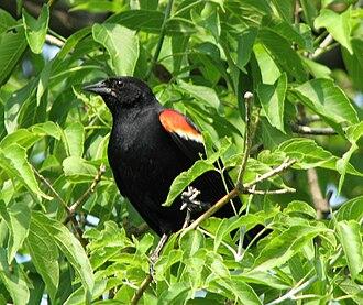New World blackbird - Red-winged blackbird, male
