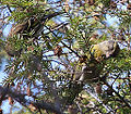 Red Crossbill (with Pine Siskin) (8204919486).jpg