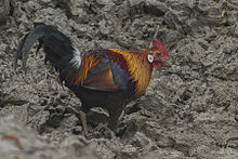 Red Junglefowl Sundarbans West Bengal India 30.12.2014.jpg