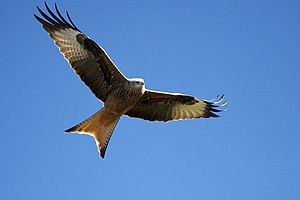 Waun Lefrith - Red kite in flight showing distinctive tail feathers
