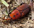 Red Palm Weevil, Rhynchophorus ferrugineus - Flickr - gailhampshire (2).jpg