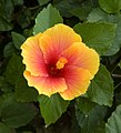Red and Yellow Hibiscus, The Rose Garden, Bangkok, Thailand.jpg