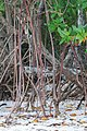 Red mangrove roots, Everglades National Park - panoramio.jpg
