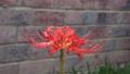 Red spider lily (Lycoris radiata).webp