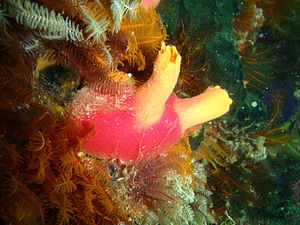 "Phlebobranchia - Ascidia incrassata, ""Red spotted sea squirt""."