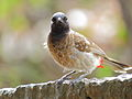 Red vented Bulbul front profile.JPG