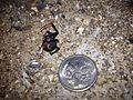 Redback Spider, dead.JPG