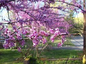 Cercis canadensis - Eastern redbud blossoms