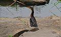 Reed Cormorant (Phalacrocorax africanus) (6002252214).jpg