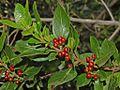 Rhamnaceae - Rhamnus alaternus.JPG