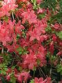 Rhododendron 'Addy Wery' 04.JPG