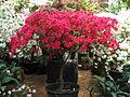 Rhododendron 'Euratom' 01.JPG