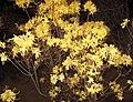 Rhododendron austrinum 2.jpg