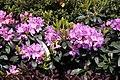 Rhododendron catawbiense Grandiflorum 5zz.jpg