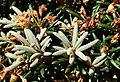 Rhododendron degronianum subsp. yakushimanum - UBC Botanical Garden - Vancouver, Canada - DSC07869.jpg