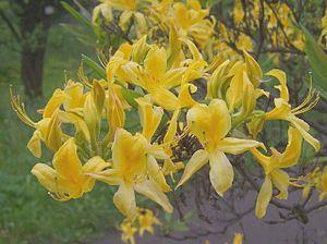 Chervona Ruta - Yellow Rhododendron