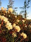 Rhododendron tomentosum Lakjärvenrahka.jpg