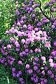 Rhododendronpark Bremen 20090513 024.JPG