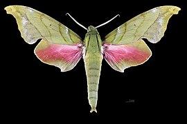 Rhodoprasina callantha MHNT CUT 2010 0 227 Doi Inthanon Chiang Maï Thailand male dorsal.jpg