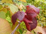 Ribes americanum, autumn leaves 2.jpg