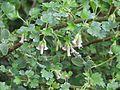 Ribes cereum (26700422495).jpg