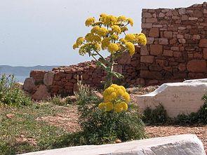 Riesenfenchel (Ferula communis)