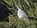 Ringduva Wood Pigeon (20163372210).jpg