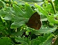Ringlet.Aphantopus hyperantus - Flickr - gailhampshire.jpg