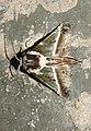 Risoba obscurivialis by Dr. Raju Kasambe DSCN0210 (9).jpg