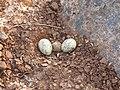River tern-Nest 05 - Koyna 042011.JPG