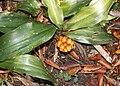 Rohdea japonica s10.jpg