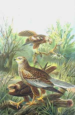 Western marsh harrier - Adult male (front), juvenile (behind) and adult female (back), illustration from 1899