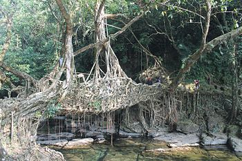 Root bridge live.jpg