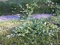 Rorippa sylvestris (s. str.) sl1.jpg